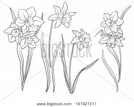 Narcissi flowers. Set of outline flowers.Stock line vector illustration. Outline hand drawing coloring page for coloring book.