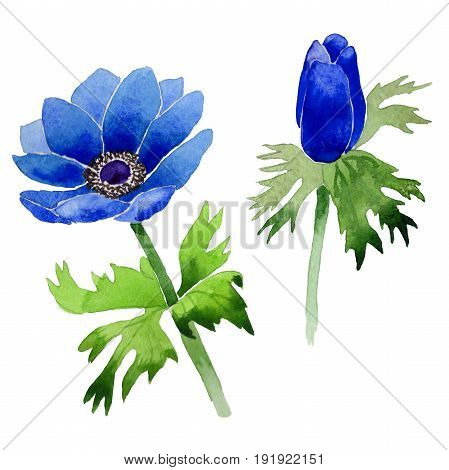Wildflower Anemone flower in a watercolor style isolated. Full name of the plant: blue Anemone. Aquarelle wild flower for background, texture, wrapper pattern, frame or border.