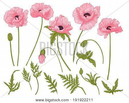 Poppy flowers. Set of colored flowers.Stock line vector illustration.