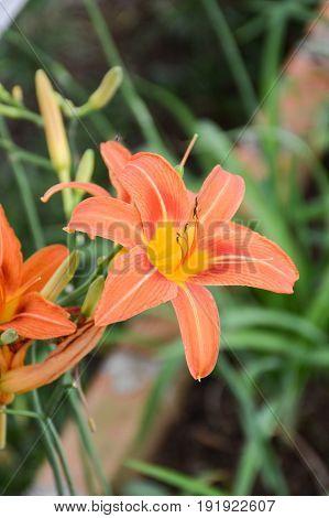 close up Hemerocallis lilioasphodelus flower in nature garden