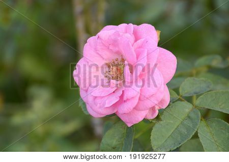 close up pink damask rose flower in garden