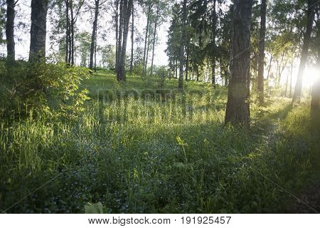 the little blue forget-me-not flowers in summer forest sunset landscape