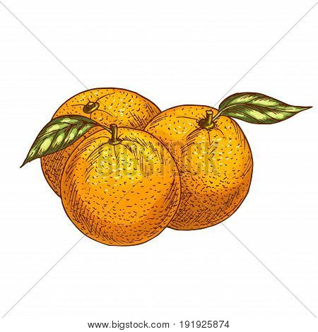 Orange fruits sketch. Vector isolated icon of fresh whole and tropical citrus or tangerine fruit for jam and juice drink product label or grocery store and farm market design