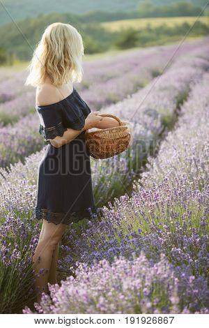 Beautiful young woman harvesting lavender at magnificent lavender field at sunset.