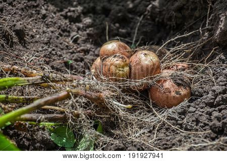 Agriculture, Background, Black, Closeup, Potato, Crop, Culture, Feeding, Field, Garden, Gardening, G