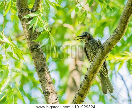 Brown-eared bulbul perched on a tree branch with green leaves blurred out in the background