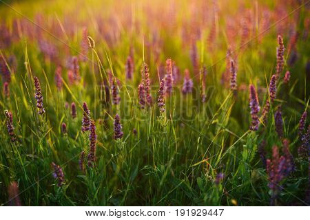 Beautiful Image Of Lavender Field Summer Sunset Landscape. Lavender Field In The Summer