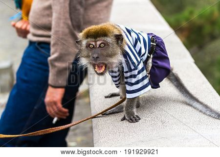 Aggressive Monkey Rushes To The Passerby.