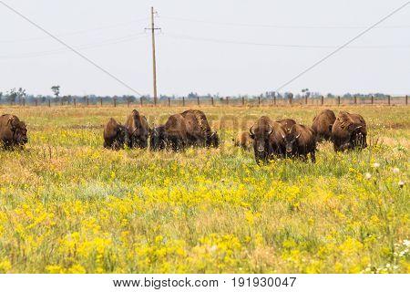 In Savannah, Steppe, Prairie A Herd Of Bison Is Grazed.