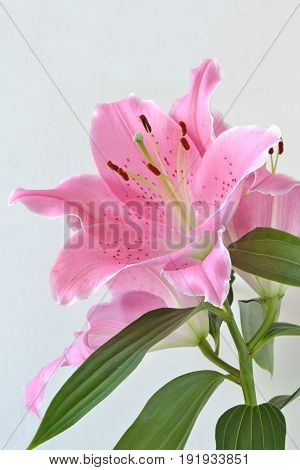 Lilium flower close up (oriental lily flower)