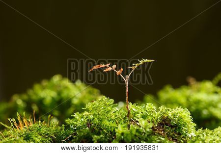 Tiny Rowan Growing Tree