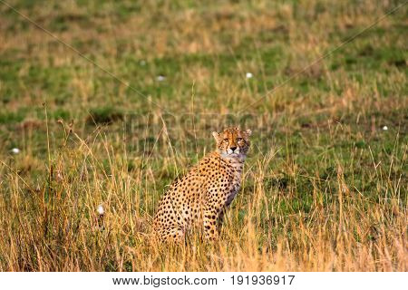 The cheetah observation point in the savanna. Kenya, Africa