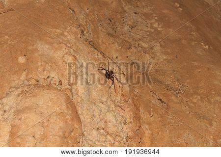 Giant Crab Spider - Heteropda vanatoria -on wall in a cave in Laos