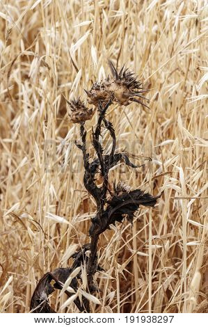 Dry thistle with blurred golden yellow background of dry oats