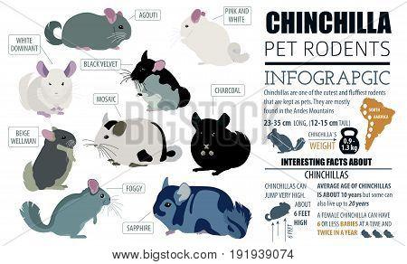 Pets_rodents_chinchilla_7