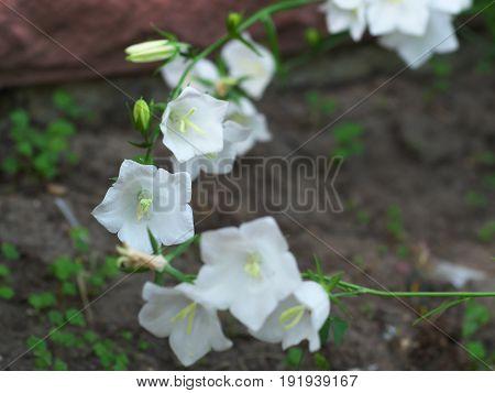 White Campanula flower Macro closeup image white bellflower on stone background.