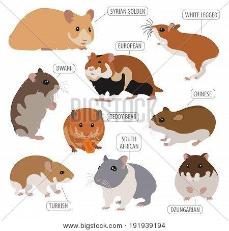 Pets_rodents_rat_4
