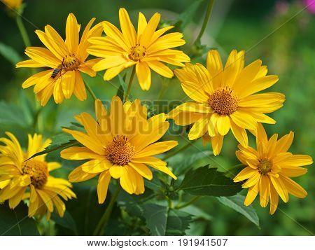 Marigold yellow flower petals at the base of dark-yellow at the edges light-yellow. Closeup photo garden bed.