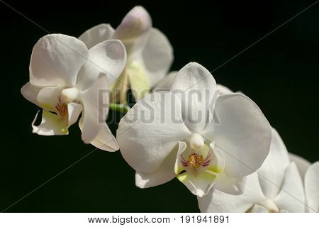 beautiful tender closeup white Phalaenopsis orchid flowers on dark background