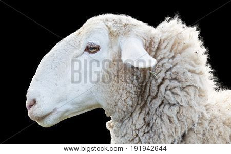 side view of sheep head on black