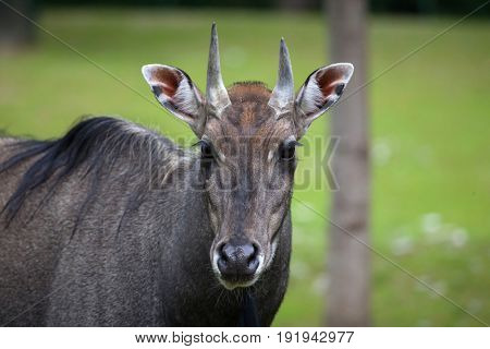 Nilgai (Boselaphus tragocamelus), also known as the nilgau or blue bull.