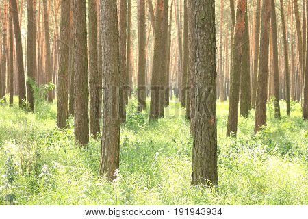 Pine forest with beautiful high pine trees in summer in sunny weather