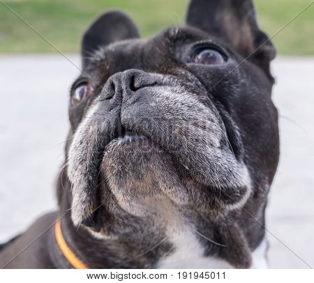 Black french bulldog, looking up. Selective focus on the eyes and nose
