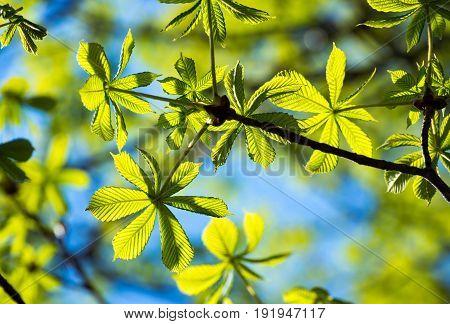 Frame of translucent horse chestnut textured green leaves in back lighting on blue sky background