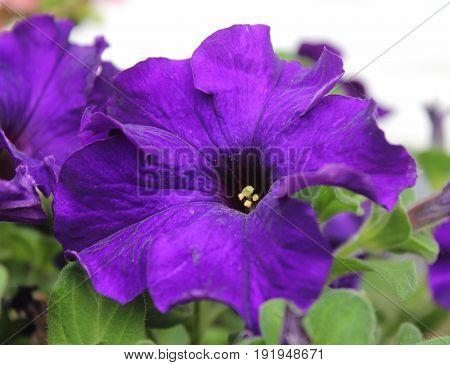 The vibrant flower of a deep purple Petunia, growing outdoors in the summer.