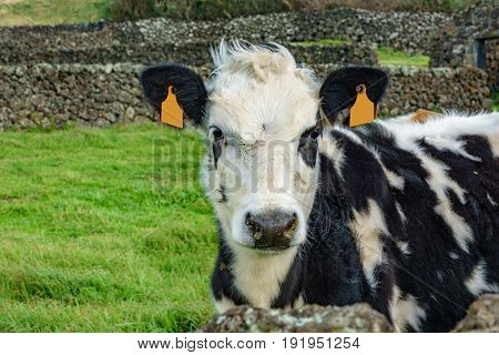 Cow head looking at camera with blank labels in ears for writting text