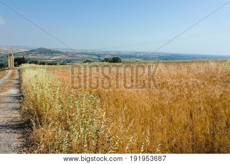Yellow Wheat Grain Ready For Harvest Growing In A Farm Field