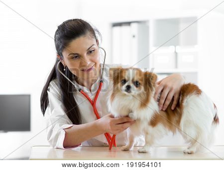 Adorable young female veterinarian doctor using stethoscope listening to the heartbeat of a terrier canine pet dog at the vet clinic