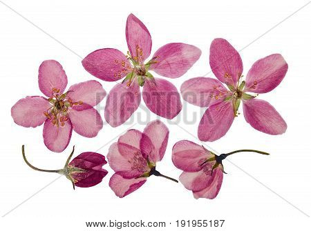 Pressed and dry bright pink flowers of apple. Isolated on white background. For use in scrapbooking pressed floristry (oshibana) or herbarium.