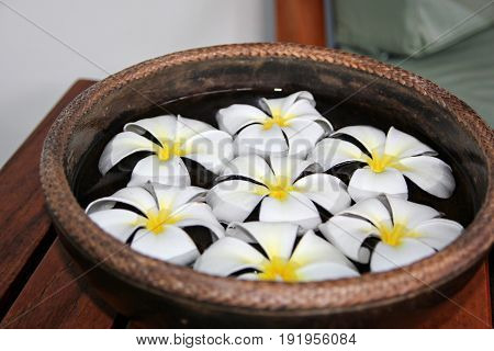 Close up of seven white and yellow plumeria flowers soaked in a tub of water Seven white plumeria flowers with white centers soaked in a clay pot of water