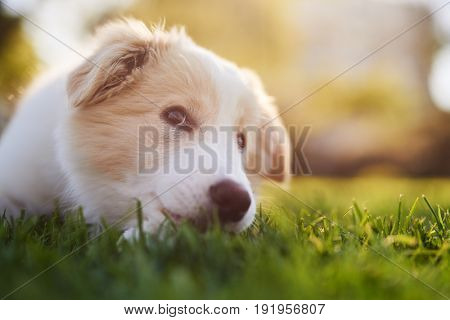 ee-red Border collie puppy lying down on green grass, cute dog animal purebred pedigree