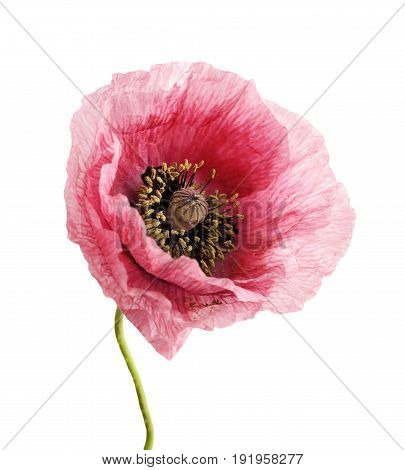 Flower head. Poppy. Lght pink anemone isolated on white background