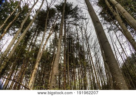 Look up in a forest at the tree tops.