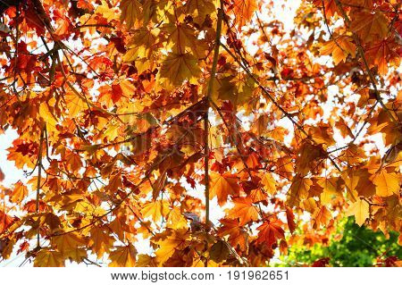 Orange maple leaves with sunlight filtering through them.