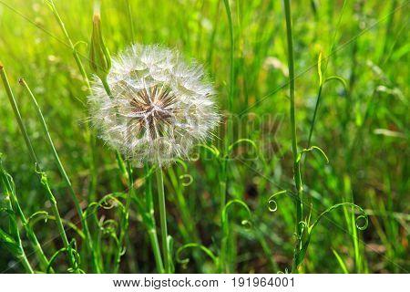 Dandelion on the wind. Macro shot of dandelion in summer field.