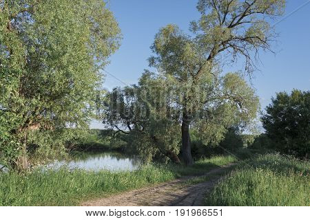 High green trees near the pond high bright juicy green grass and road along the pond clear blue sky without clouds.