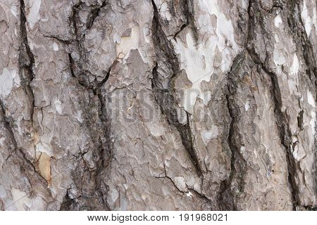 Color bark of pine tree. Background bark with wood detail