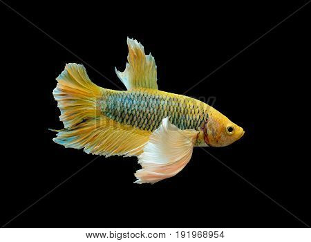 yellow betta fish fighting fish Siamese fighting fish isolated on black background Pla-kad biting fish Thai Clipping path included