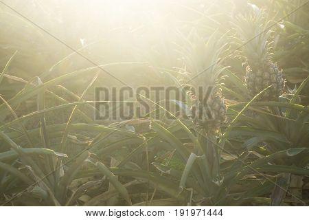 Sunset Pineapples