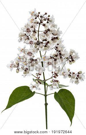 Flowering Tree Of Catalpa, Lat. Catalpa Speciosa, Isolated On White Background