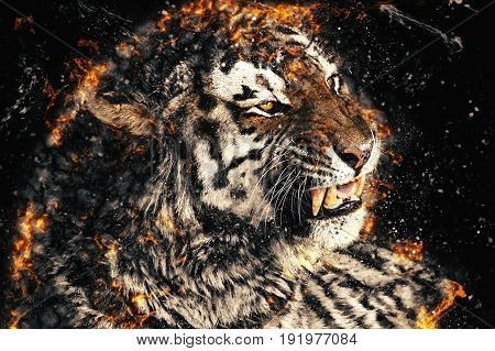Close up of a tiger face with bare teeth of Bengal Tiger fire illustration.