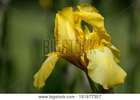 Iris yellow with golden tinge on a green background