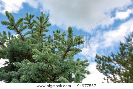 Rare species of trees - blue spruce (Picea pungens)  on the background of blue sky and white clouds
