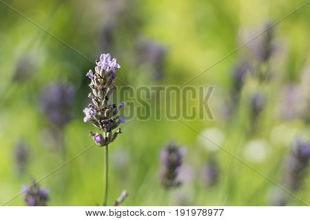 Purple Lavender Flower Against A Background Of Light Green Blurred Background With A Bush, Shallow D