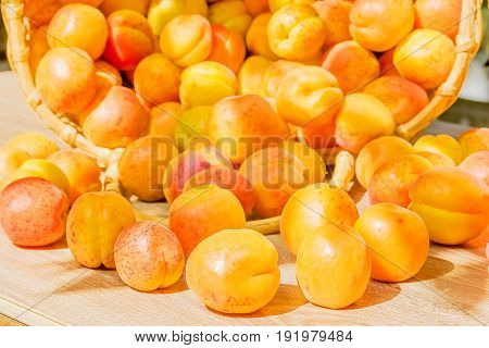 Overturned basket of ripe orange apricots in the garden close up