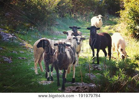 A group of black and white sheep going to a meeting along the path looking at the camera lit by the sun.